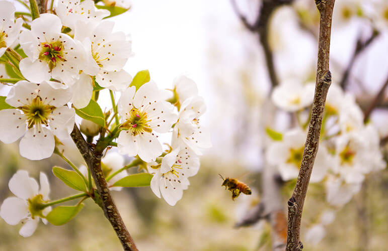 bee and white cherry blossoms