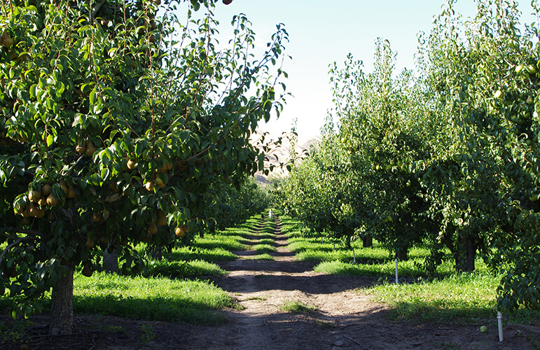 Sustainably grown apple orchard
